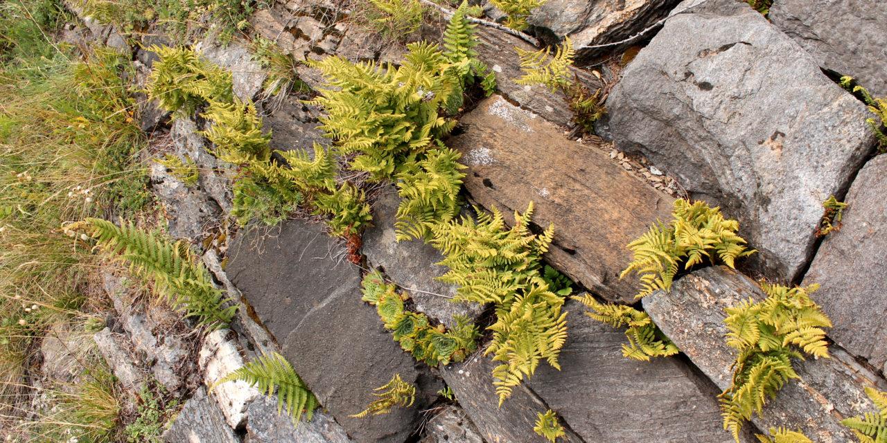 Gymnocarpium robertianum