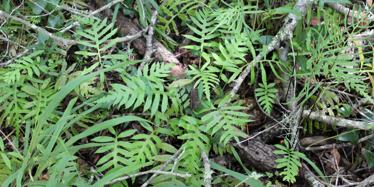Lorinseria areolata
