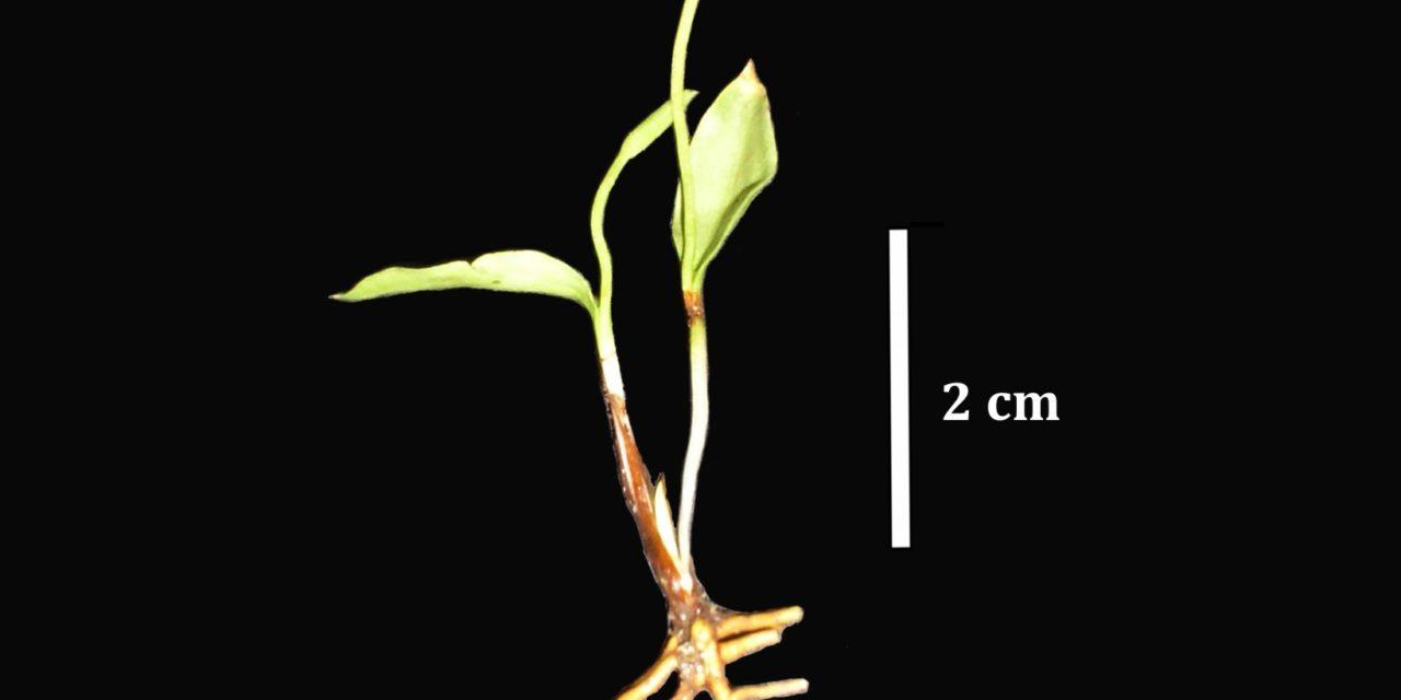 Ophioglossum melipillense