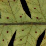 Megalastrum connexum