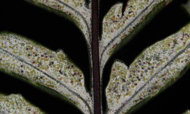 Pityrogramma calomelanos var. calomelanos