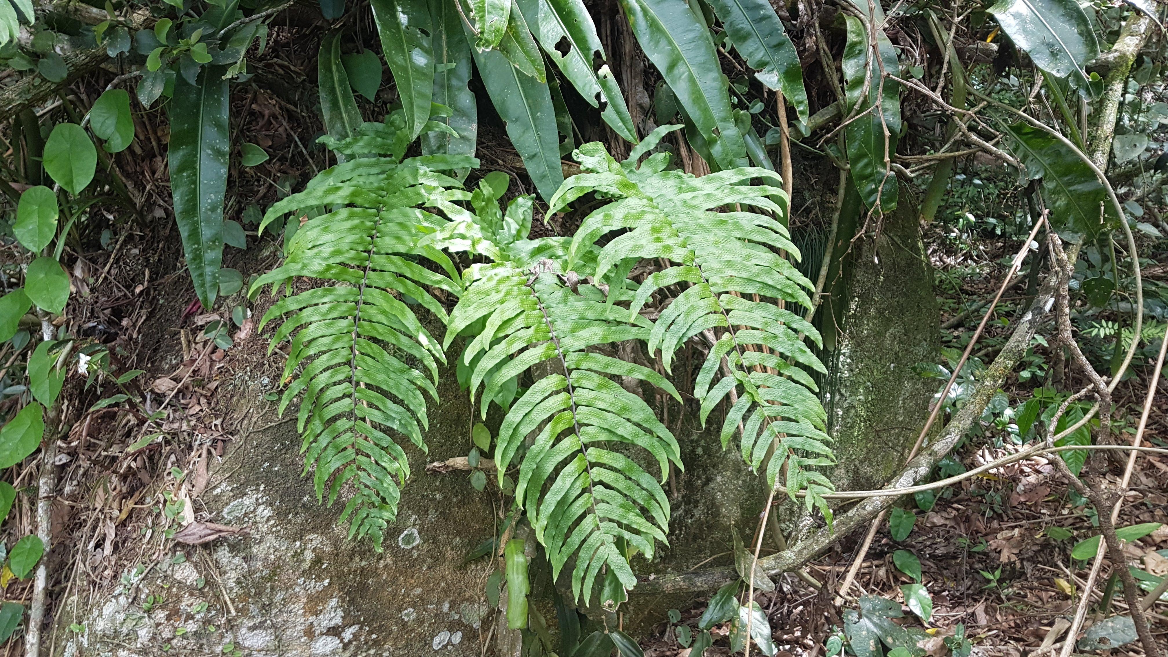 Serpocaulon ×pubescens