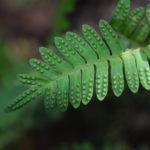 Pleopeltis polypodioides var. aciculare