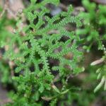 Selaginella delicatissima