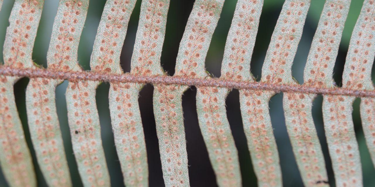 Pleopletis rosei