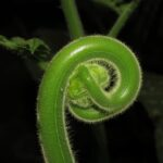 Hypolepis tenuifolia