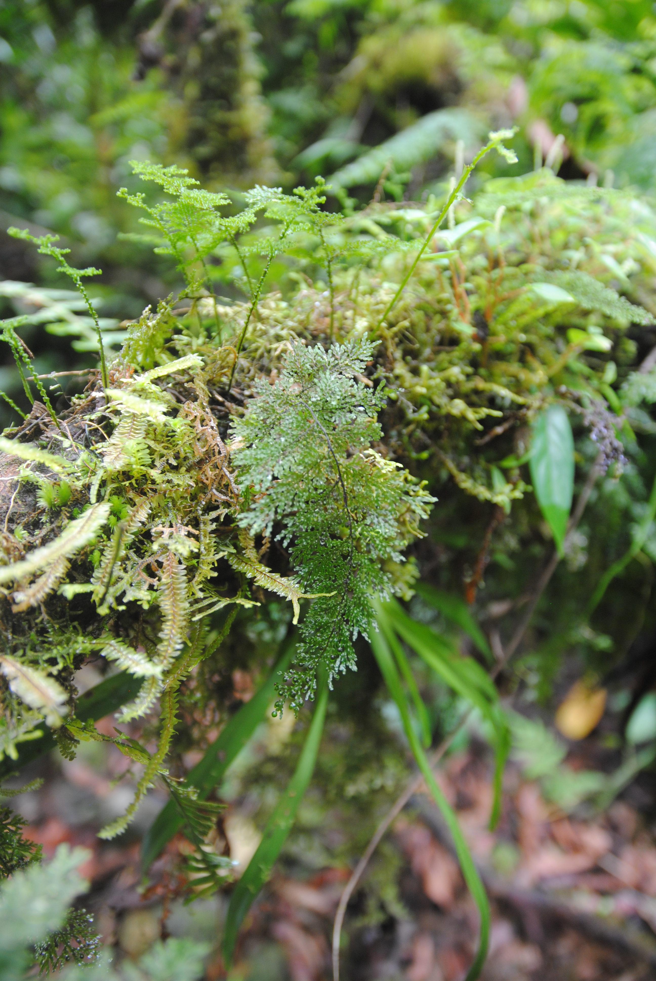 Hymenophyllum reinwardtii