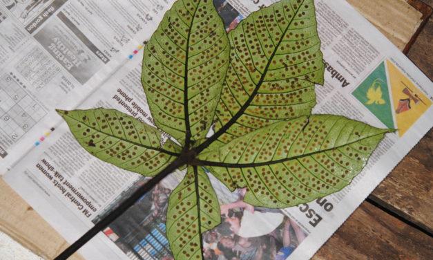 Christensenia aesculifolia