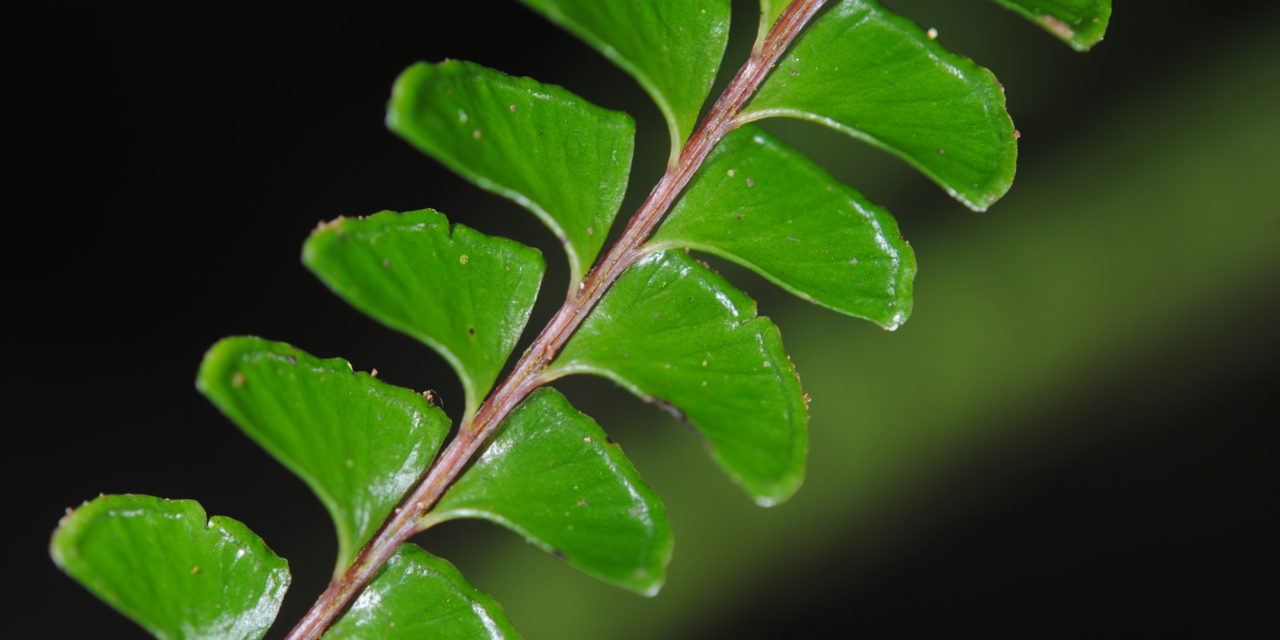 Lindsaea lucida