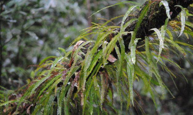 Lindsaea pulchella