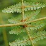Histiopteris squamulata