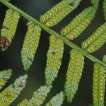 Ptisana melanesica