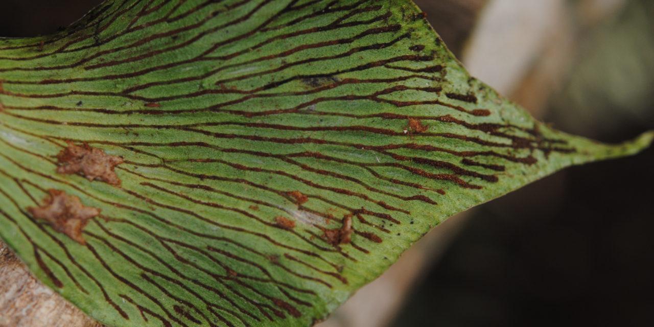 Antrophyum ledermannii