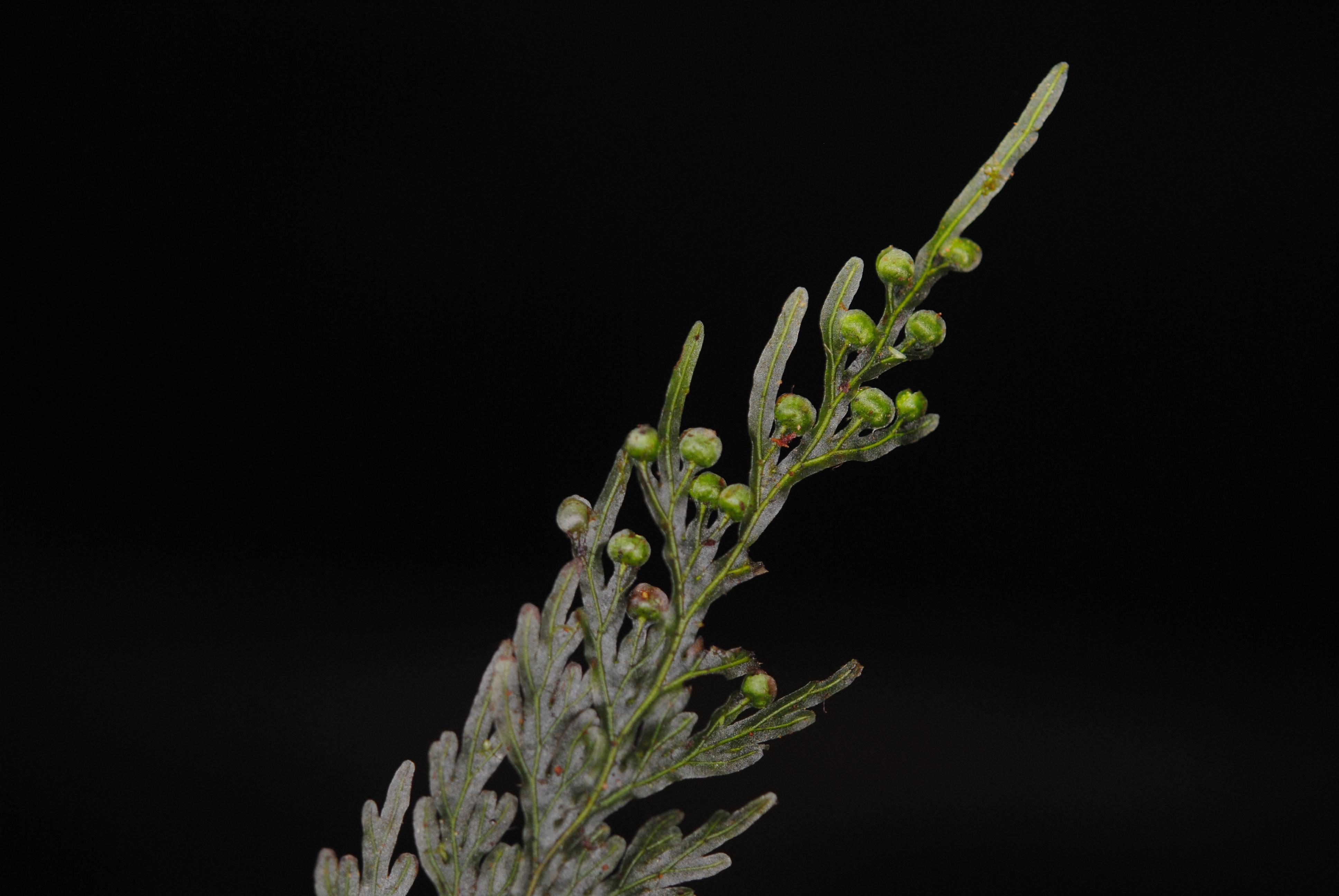 Hymenophyllum imbricatum