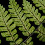 Diplazium cyatheifolium