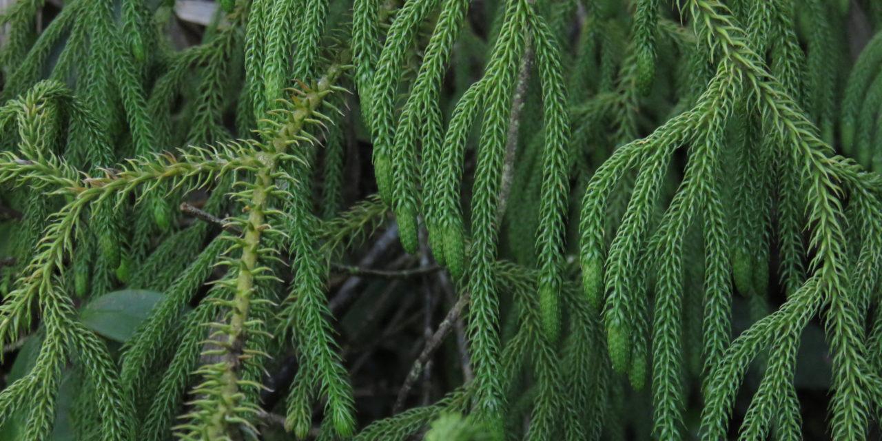 Palhinhaea glaucescens