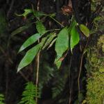 Antrophyum plantigineum