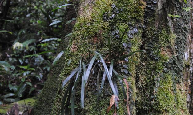Haplopteris ensiformis