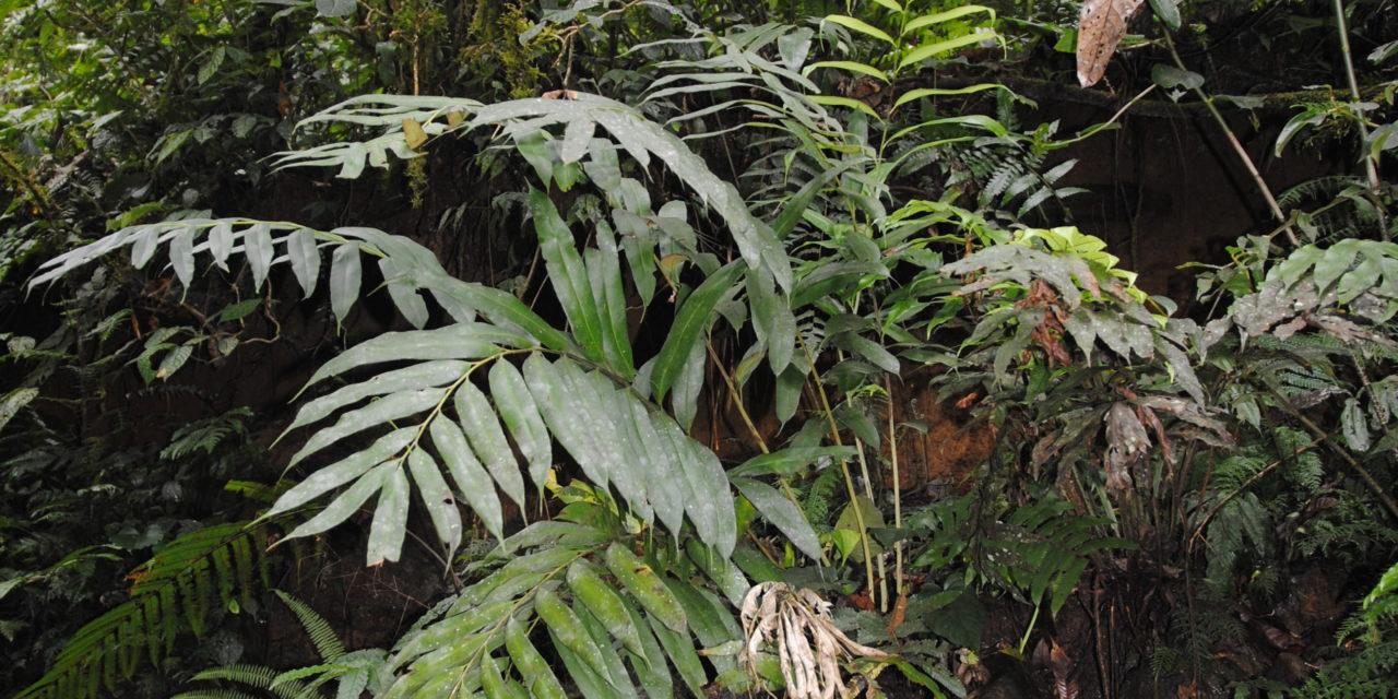 Coniogramme macrophylla