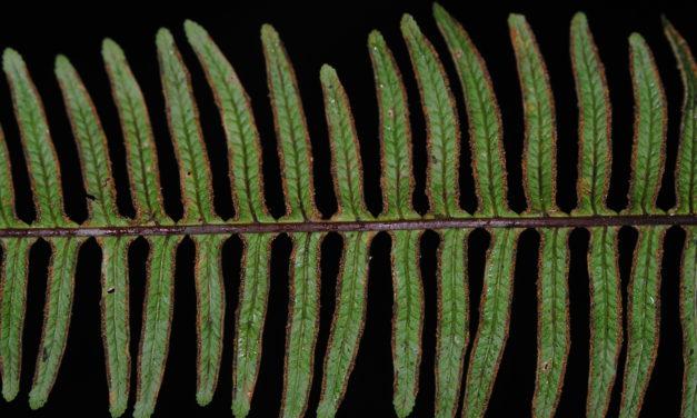Pteris mertensioides
