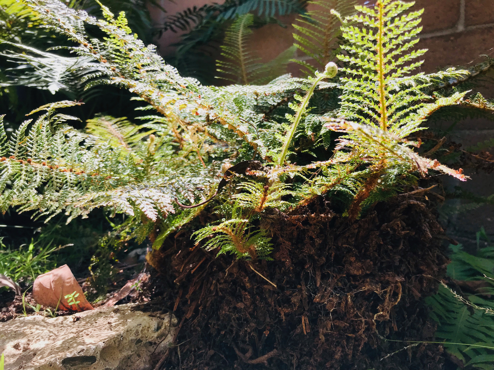 What is this fern?