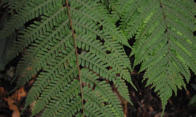 Tectaria jermyi