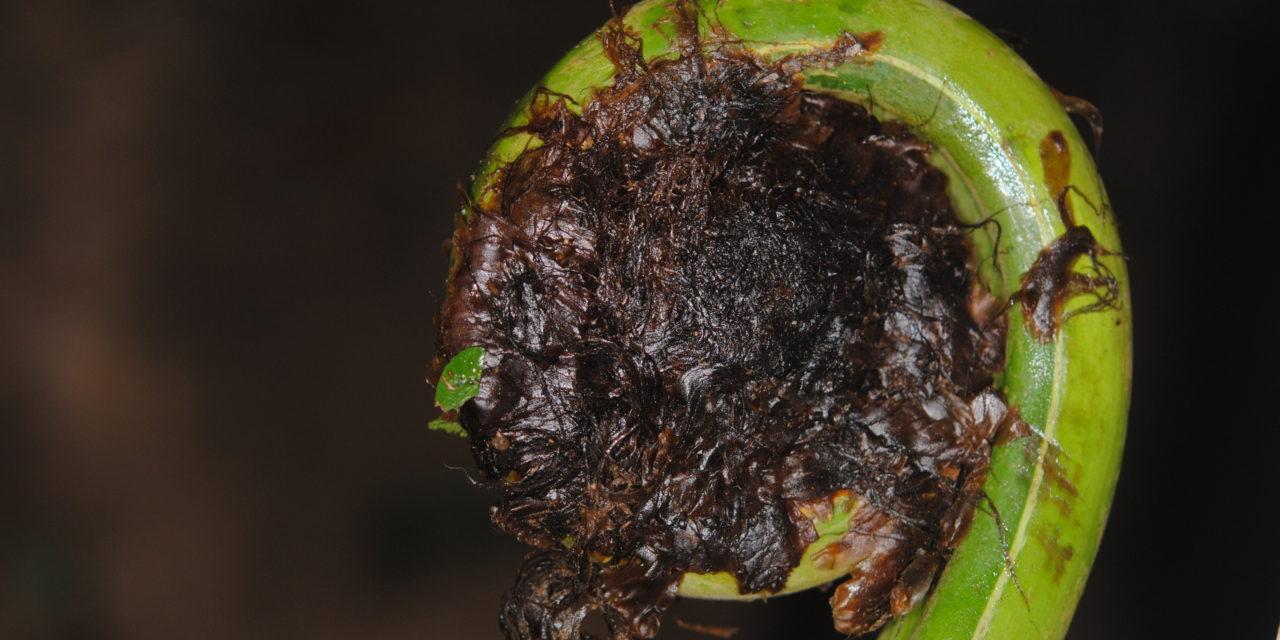 Pleocnemia cummingiana