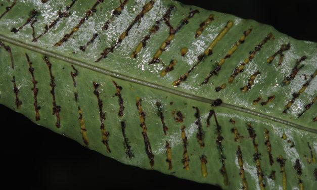 Leptochilus macrophyllus