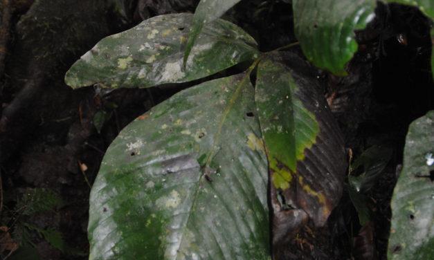 Tectaria pleiosora