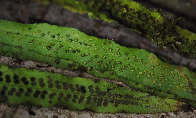 Oreogrammitis torricelliana