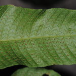Abacopteris philippinarum