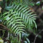 Goniophlebium serratifolium