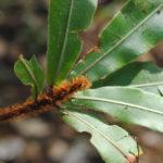 Oleandra neriiformis s.l.