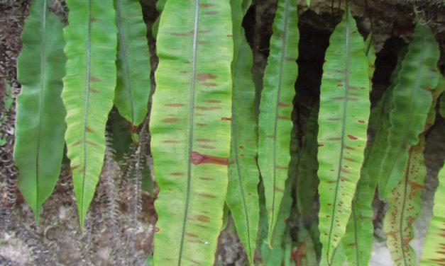 Oleandra quartziticola