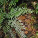 Sphaerostephanos mengenianus