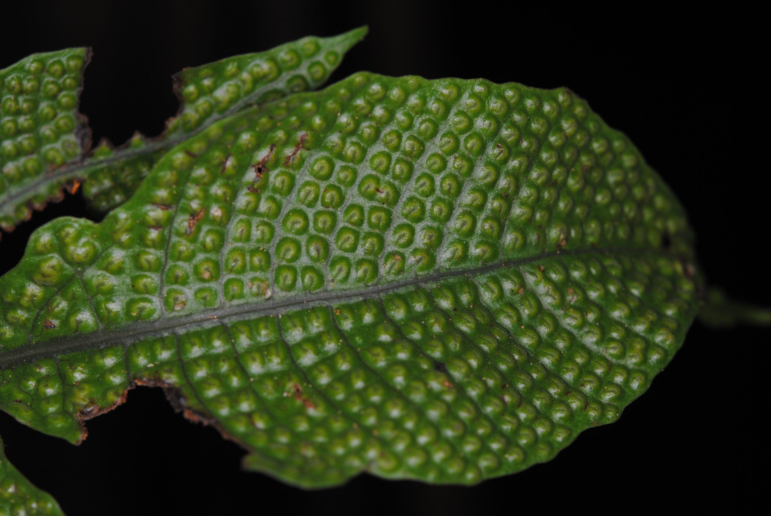 Tectaria pleisosora