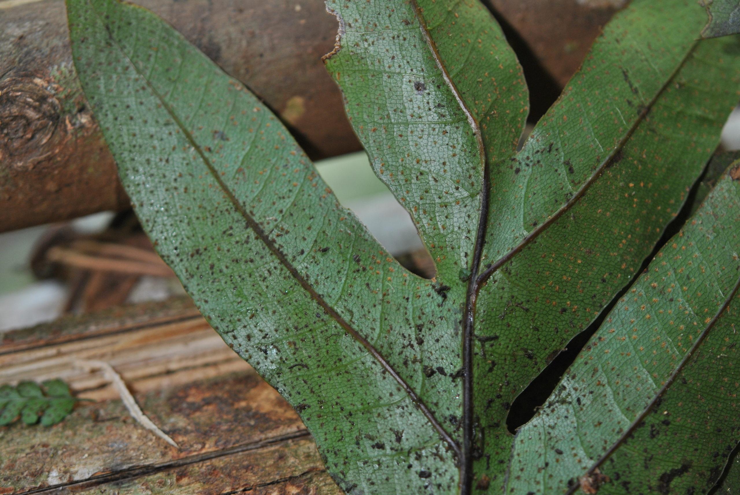 Aglaomorpha heraclea