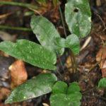 Diplazium cordifolium