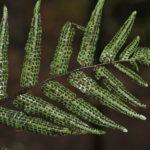 Thelypteridaceae