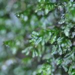 Crepidomanes kurzii