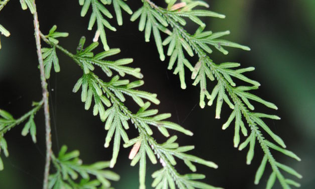 Selaginella hieronymiana