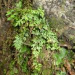 Asplenium capillipes