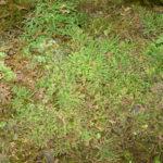 Selaginella nipponica