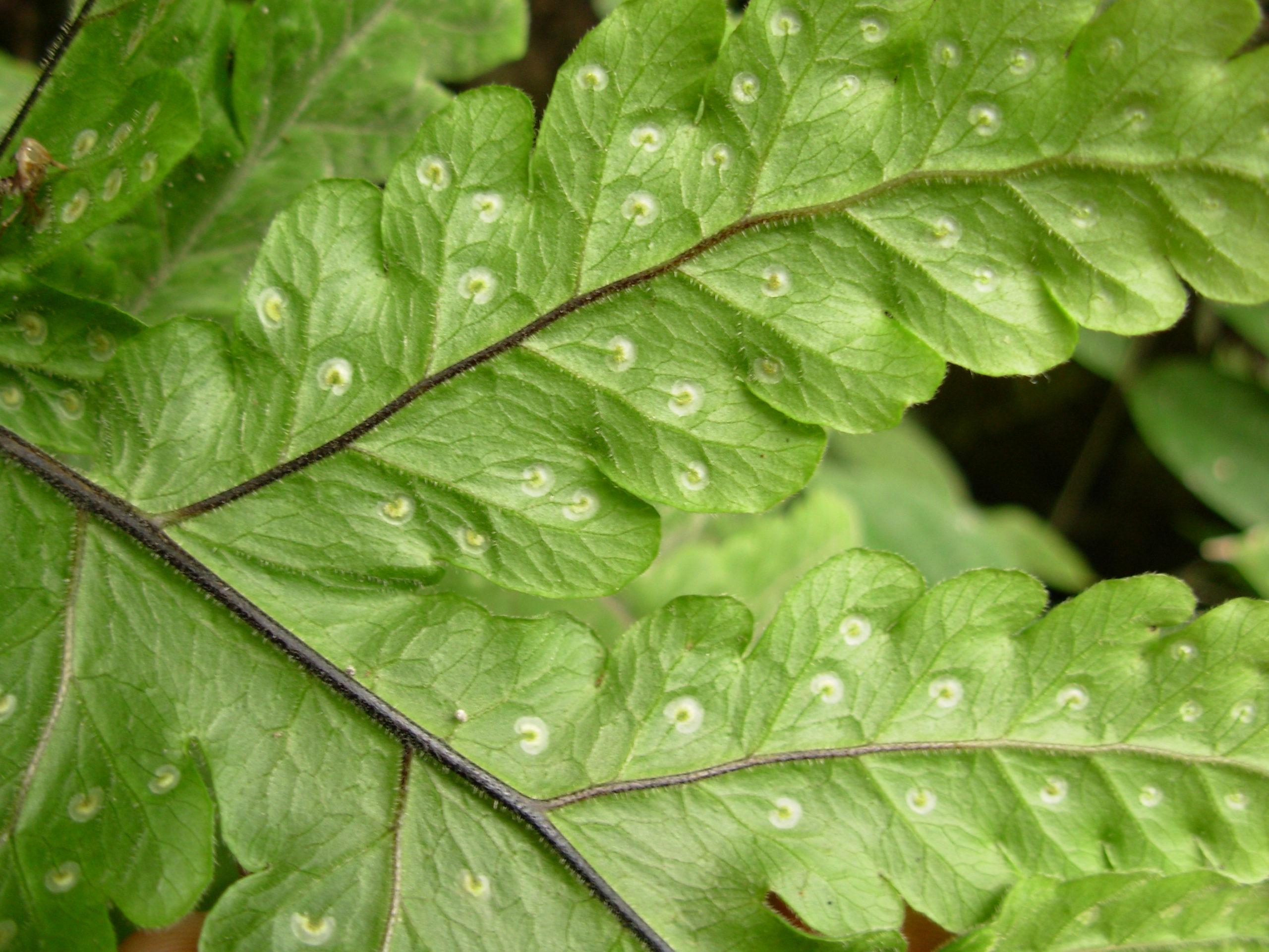 Tectaria coadunata