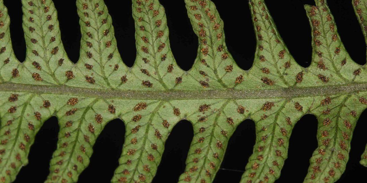 Amauropelta regnelliana