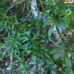 Lastreopsis poecilophlebia