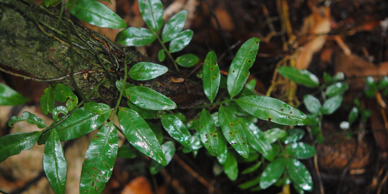 Teratophyllum ludens