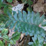 Hymenasplenium excisum