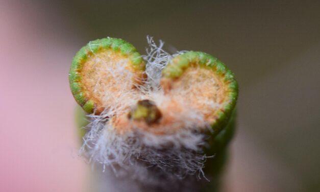 Jamesonia bogotensis