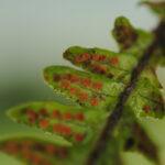 DSC_0234 (Alansmia laxa)